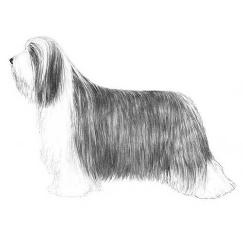 bearded collie illustration