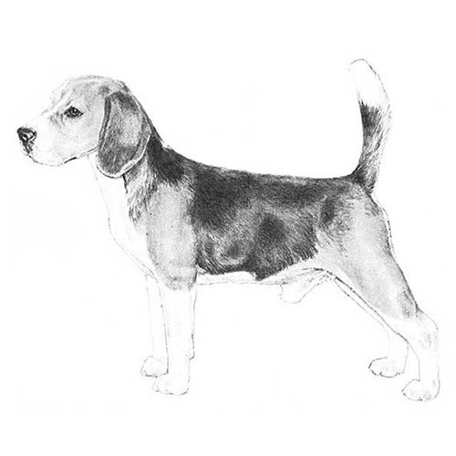 beagle illustration