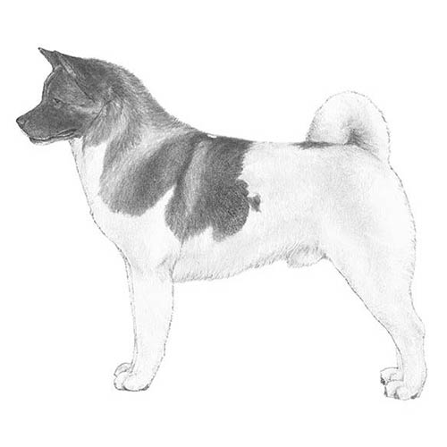 Akita Illustration