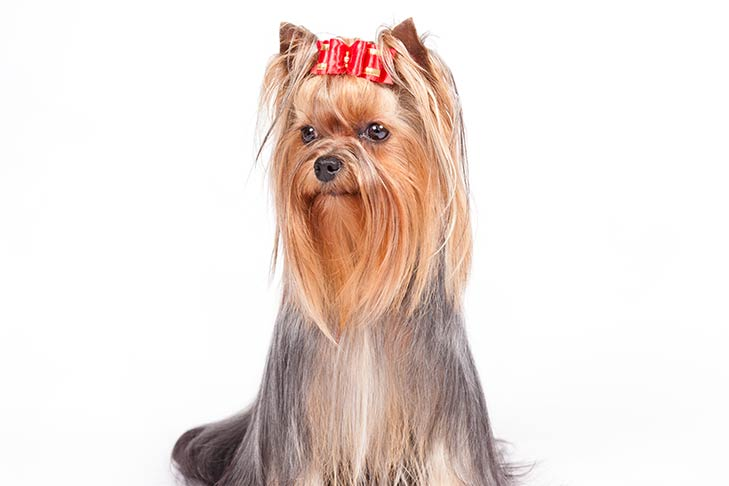Yorkshire Terrier sitting facing forward, head turned slightly left