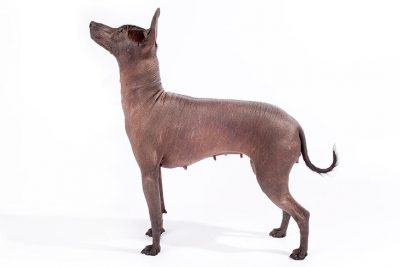 All Mexican Dog Breeds