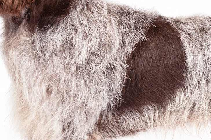 Wirehaired Pointing Griffon coat detail