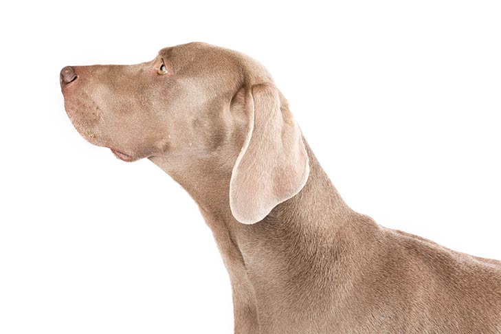 Weimaraner head facing left
