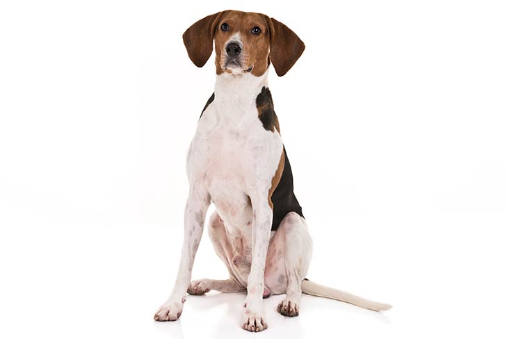 Treeing Walker Coonhound sitting in three-quarter view
