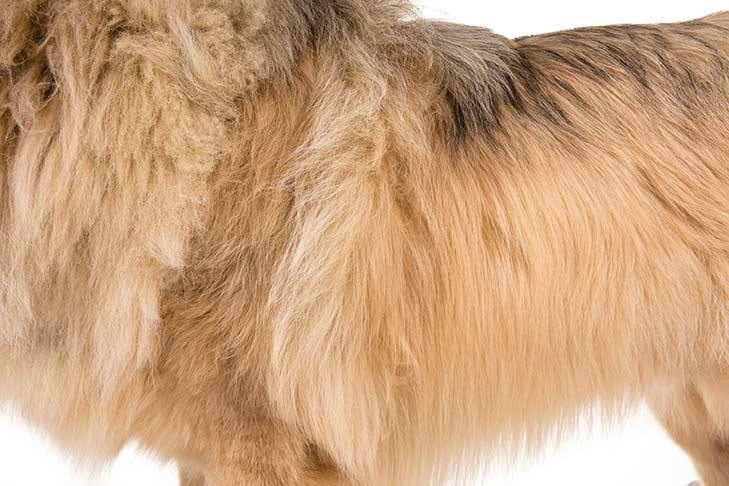 Tibetan Mastiff coat detail