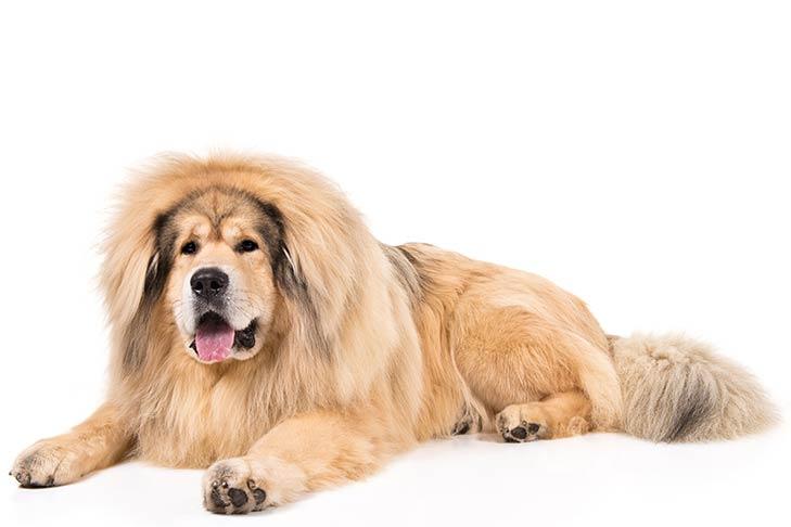 Tibetan Mastiff Dog Breeds