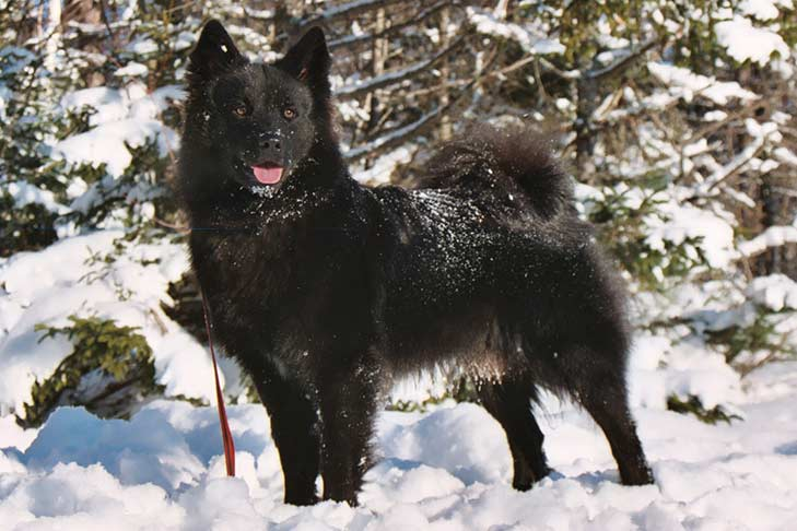 Swedish Lapphund standing in snow with snow-covered pine trees in the background