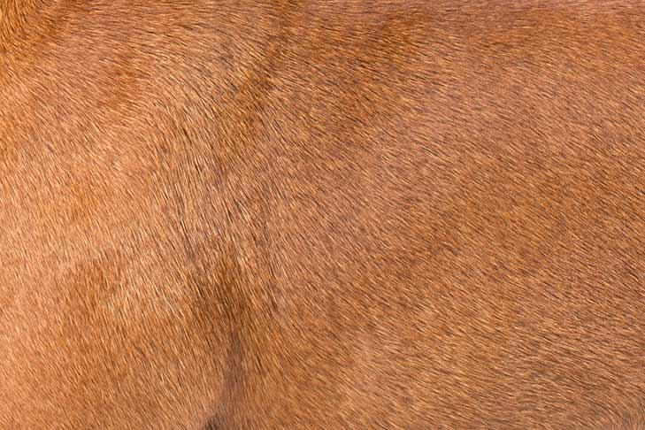 Staffordshire Bull Terrier coat detail