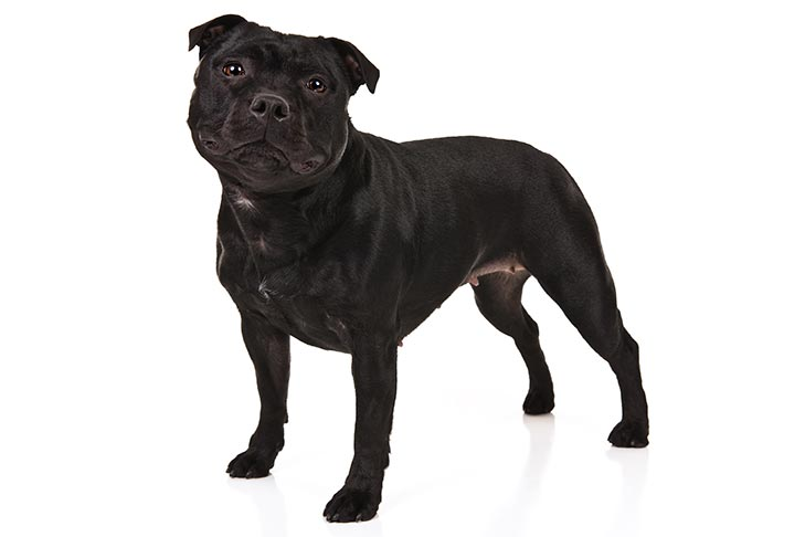 Staffordshire Bull Terrier standing in three-quarter view facing forward