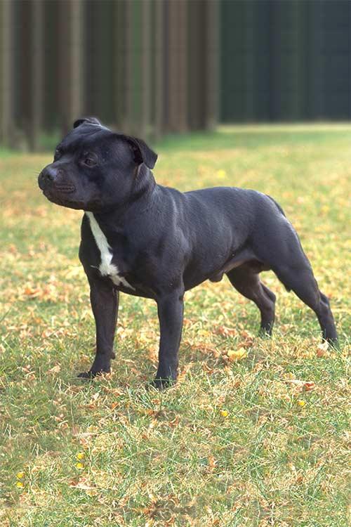 Shine Dog Breed