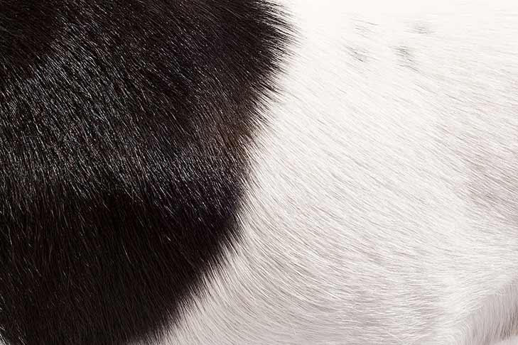 Smooth Fox Terrier coat detail