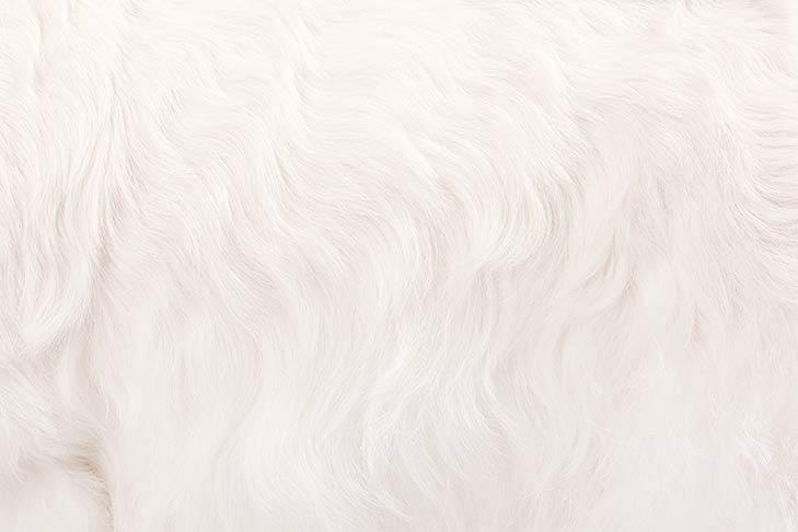 Sealyham Terrier coat detail