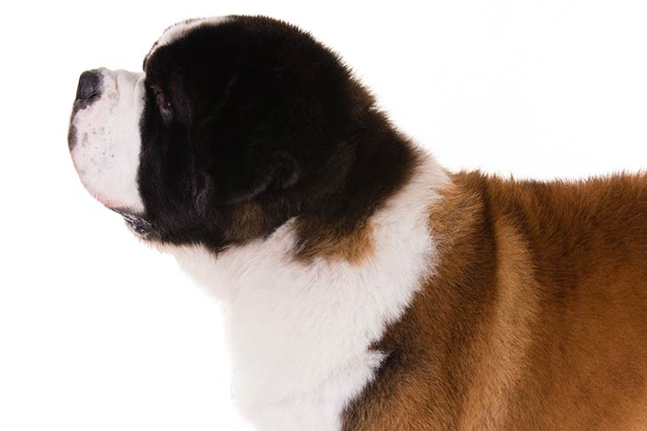 Saint Bernard head and shoulders facing left