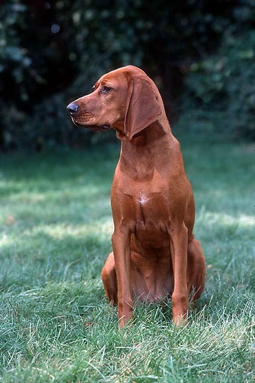 Redbone Coonhound Dog ...