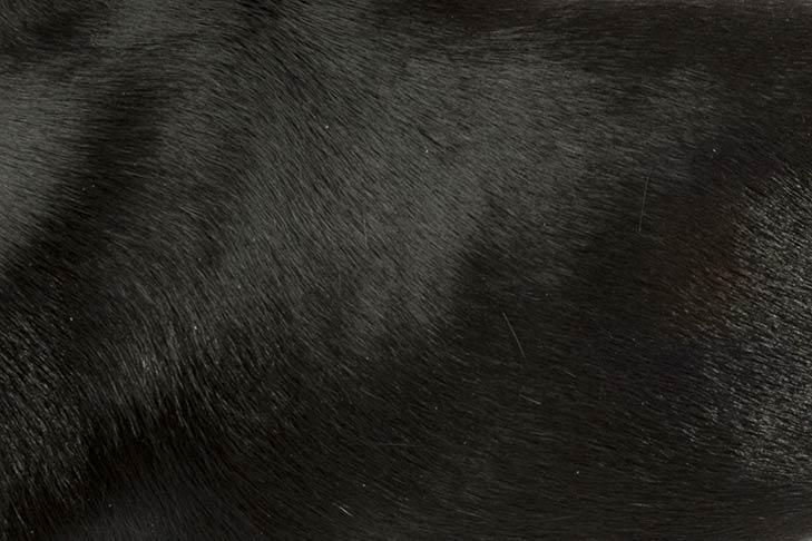 Rat Terrier coat detail