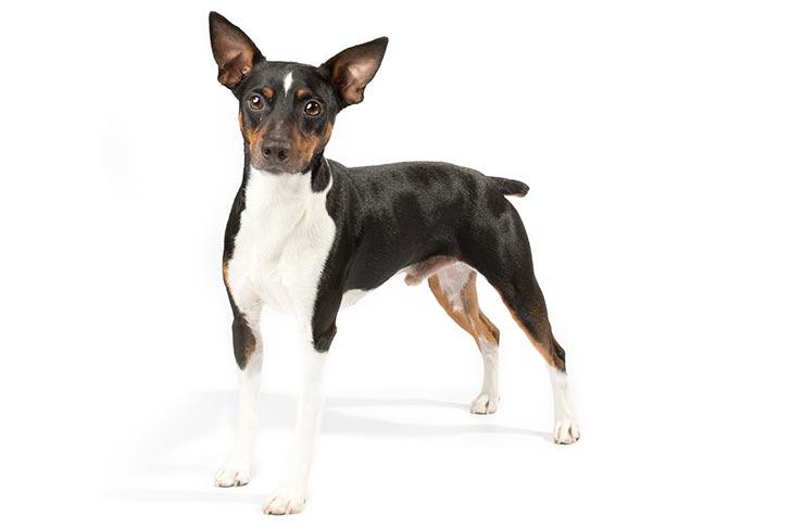 Rat Terrier standing in three-quarter view facing forward