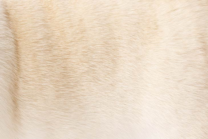 Pug coat detail