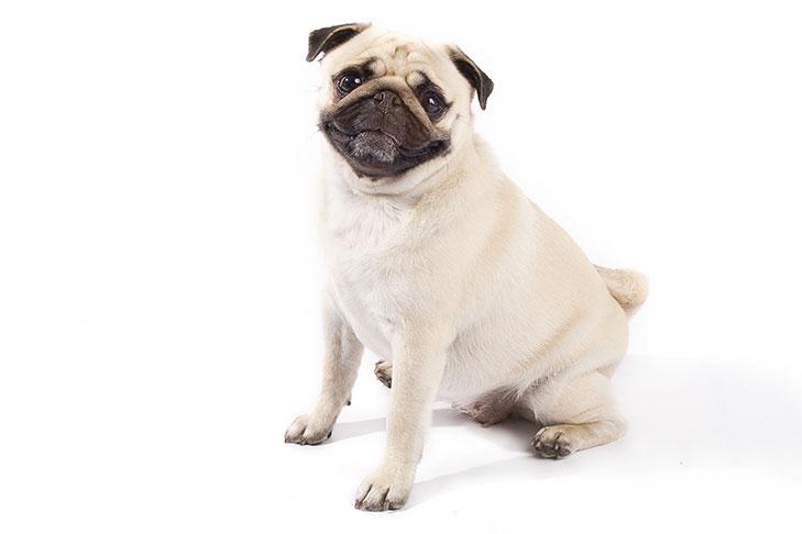 Pug sitting in three-quarter view facing forward