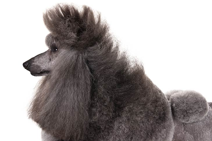 Poodle with a gray coat head and shoulders facing left