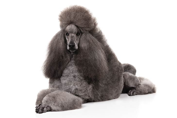 Poodle with a gray coat lying in three-quarter view facing forward