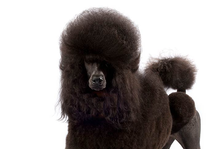 Poodle with a black coat standing in three-quarter view facing forward