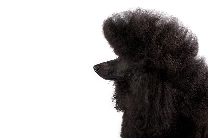 Poodle with a black coat head facing left