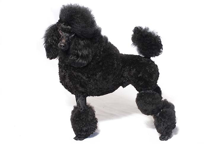 Poodle with a black coat standing sideways facing left, head turned forward