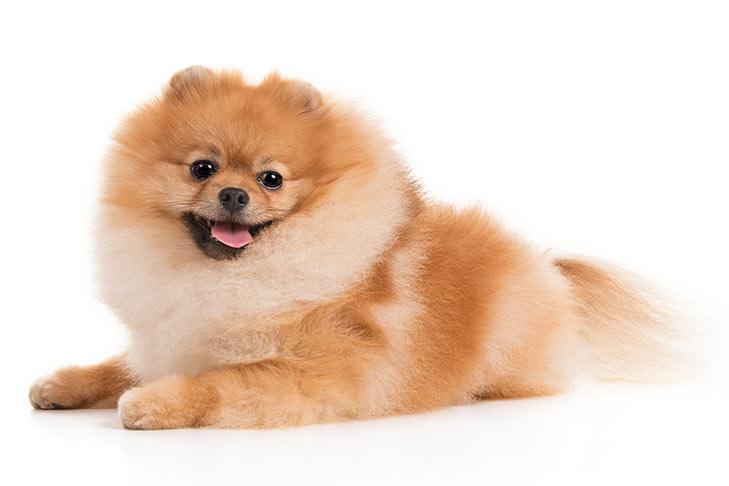 Pomeranian lying down facing left, head turned forward