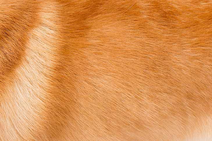Pembroke Welsh Corgi coat detail