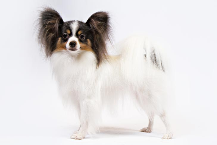Papillon standing facing left, head turned forward