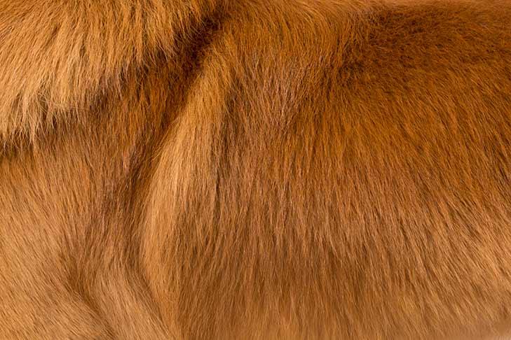 Nova Scotia Duck Tolling Retriever coat detail