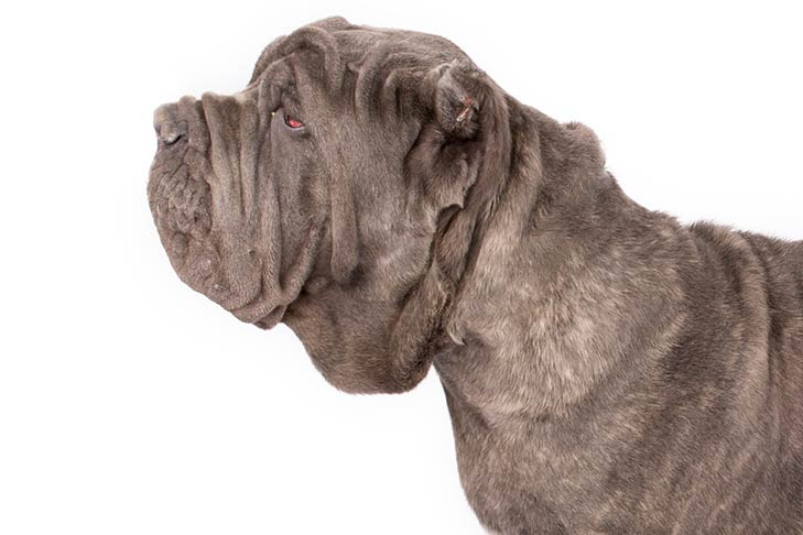 Neopolitan Mastiff head facing left