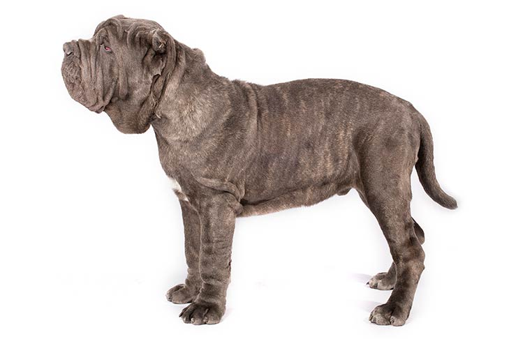 Neopolitan Mastiff standing sideways facing left