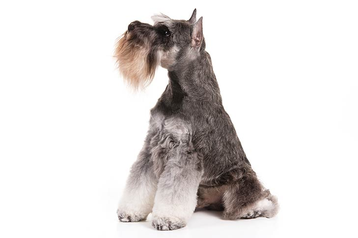 Miniature Schnauzer sitting in three-quarter view, head turned left