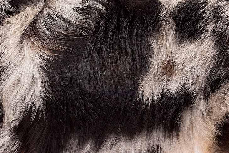 Miniature American Shepherd coat detail