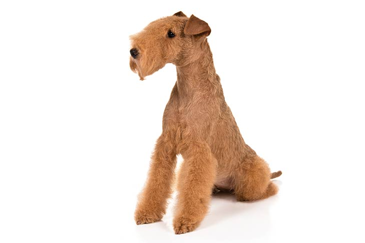 Lakeland Terrier sitting in three-quarter view, head turned left
