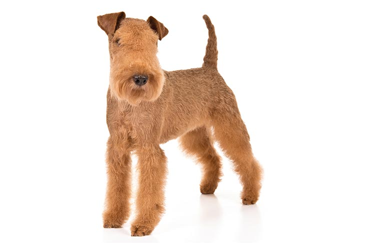 Lakeland Terrier standing in three-quarter view, head turned forward