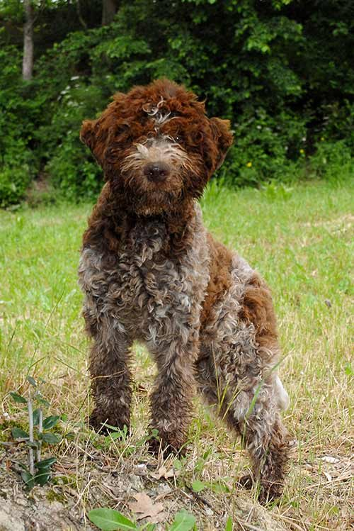 Italian Dogs Breeds Pictures