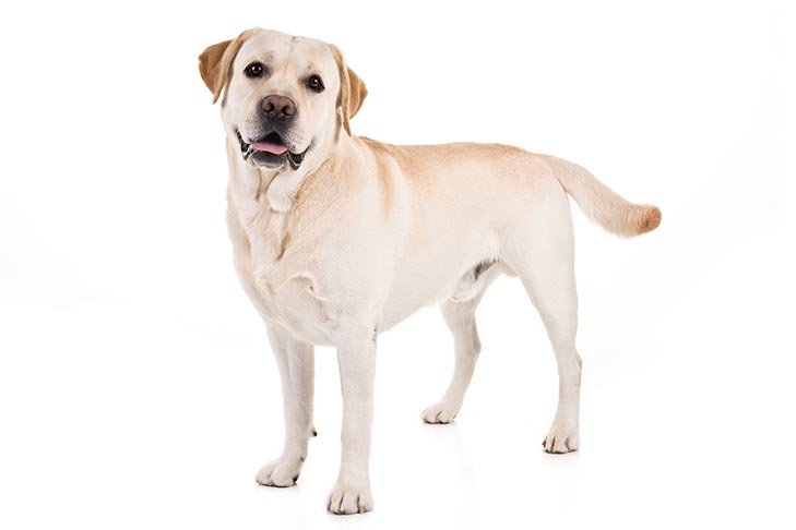 Labrador Retriever standing in three-quarter view facing forward
