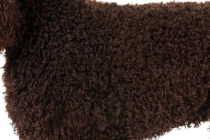 Irish Water Spaniel coat detail
