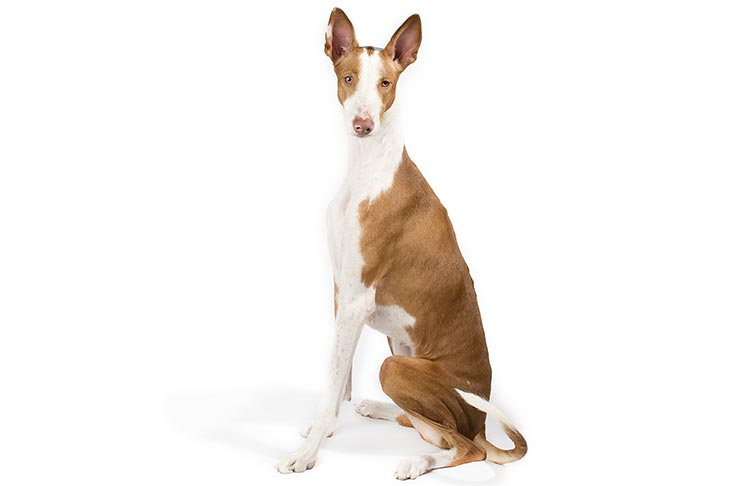 Ibizan Hound sitting facing left, head turned forward