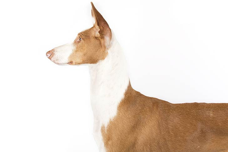Ibizan Hound head facing left