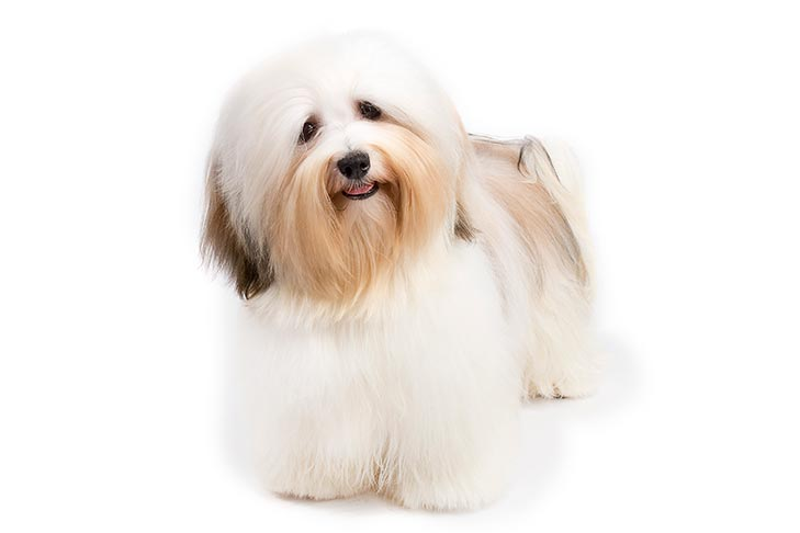 Havanese standing in three-quarter view facing forward