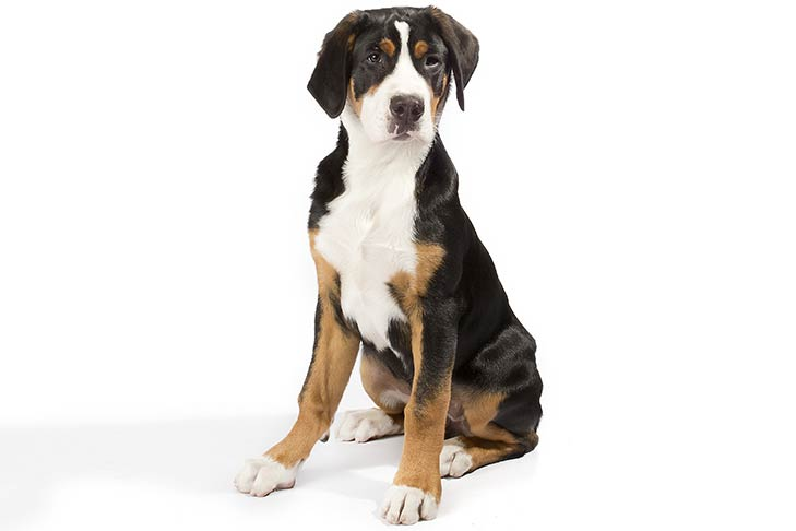 Greater Swiss Mountain Dog sitting in three-quarter view facing forward