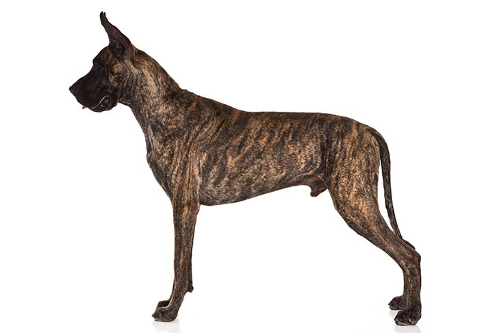 Great Dane standing facing left