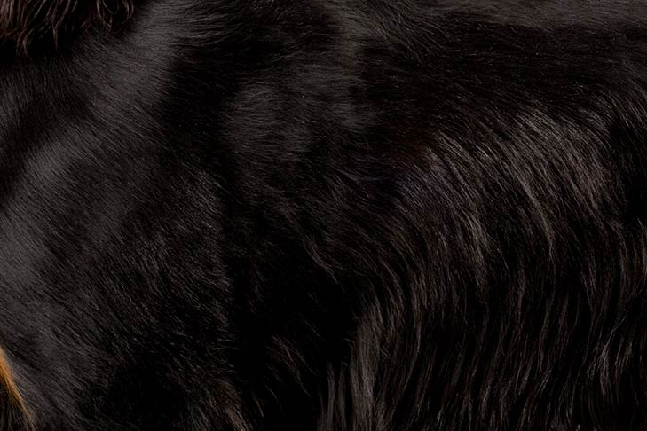 Gordon Setter coat detail