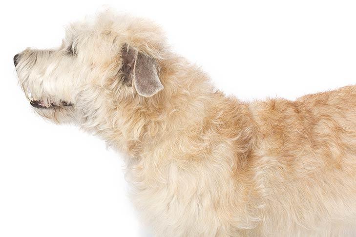 Glen of Imaal Terrier head and shoulders facing left
