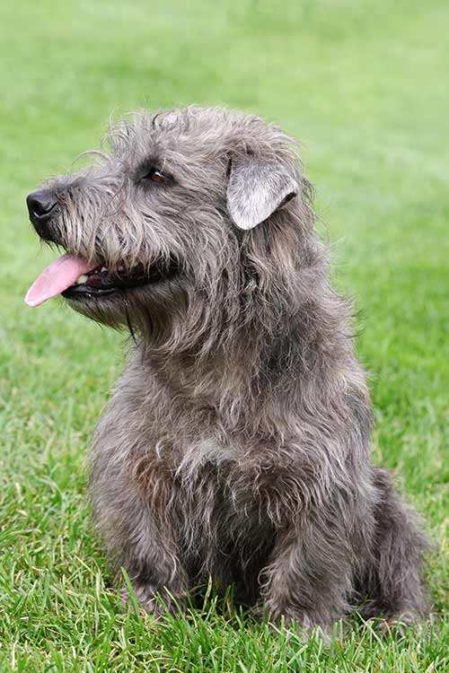 Glen of imaal terrier dog breed information glen of imaal terrier thecheapjerseys