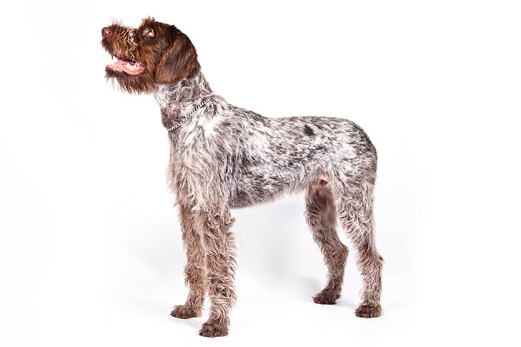 German Wirehaired Pointer standing in three-quarter view facing left