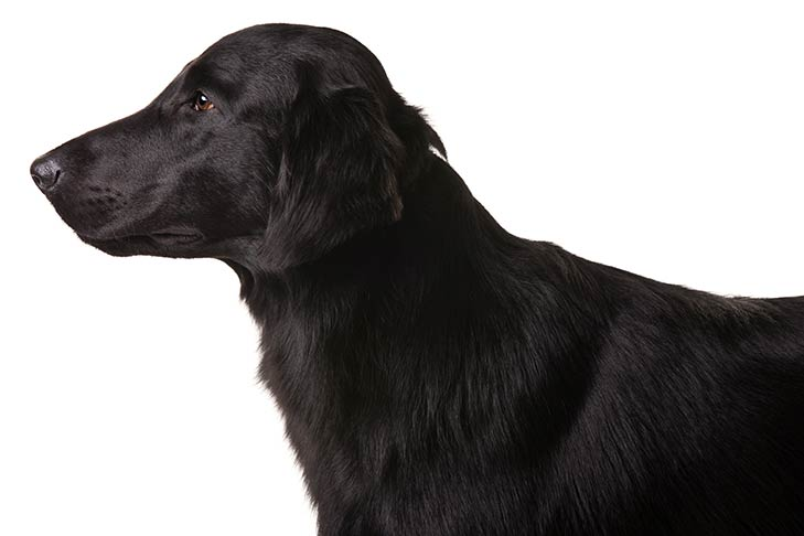 Flat-Coated Retriever head facing left